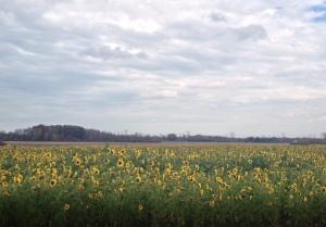 Field of sunflowers :D